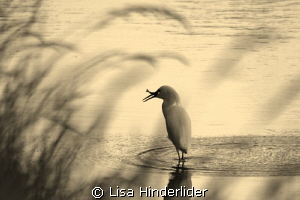 Egret in the reeds- Sepia by Lisa Hinderlider